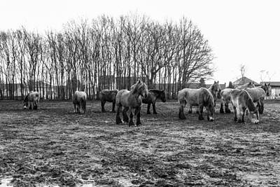Belgian Draft Horse Photograph - Black And White Belgian Horses by Pati Photography