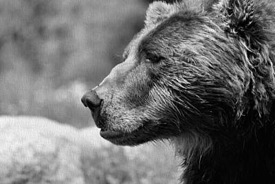 Black And White Brown Bear Print by Dan Sproul