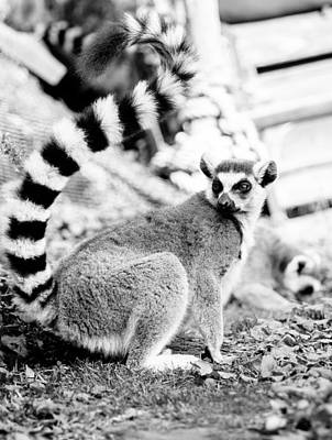 Ring-tail Lemur Photograph - Black And White Lemur by Pati Photography