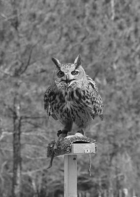 Photograph - Black And White Owl by Cherie Haines