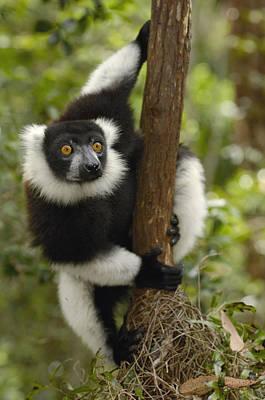 Black And White Ruffed Lemur Madagascar Print by Pete Oxford