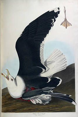 The Bird Photograph - Black Backed Gull by British Library