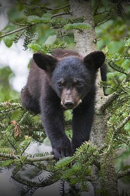 Black Bear Cub In A Pine Tree Outside Of Orr Minnesota Print by Randall Nyhof