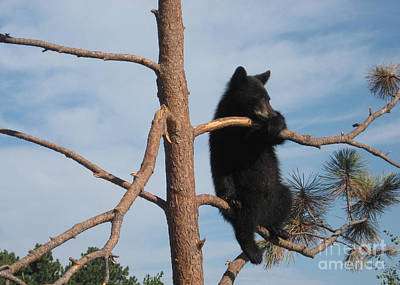 Bear Photograph - Black Bear Cub - Just Hanging Out by Cheryl Aguiar