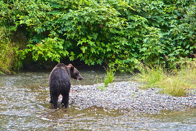Tonga Digital Art - Black Bear Eating A Salmon In Fish Creek In Tongass National Forest-ak by Ruth Hager