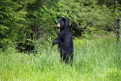 Black Bear Standing Upright Looking Print by Dan Friend