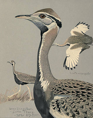 Black Bellied Bustard Print by Louis Agassiz Fuertes