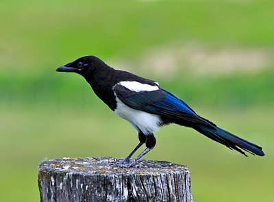 Magpies Photograph - Black Billed Magpie by Karon Melillo DeVega
