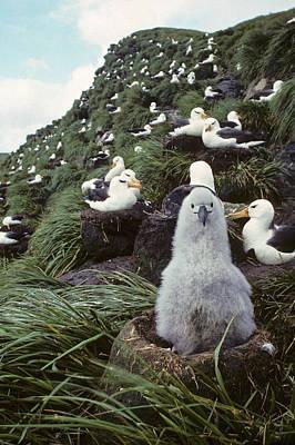Black-browed Albatross Chick Sitting On Print by Joel Bennett