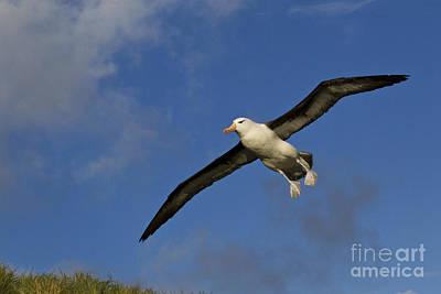 Black-browed Albatross Print by Jean-Louis Klein and Marie-Luce Hubert