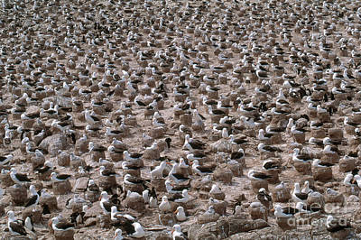 Black-browed Albatross Nesting Colony Print by Art Wolfe
