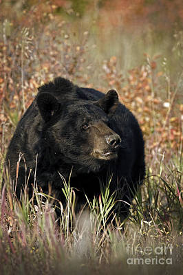 Mammals Photograph - Black Bruin by Wildlife Fine Art