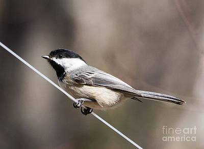Black-capped Photograph - Black-capped Chickadee by Edward Fielding