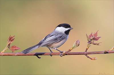 Birds Photograph - Black Capped Chickadee In Spring by Daniel Behm