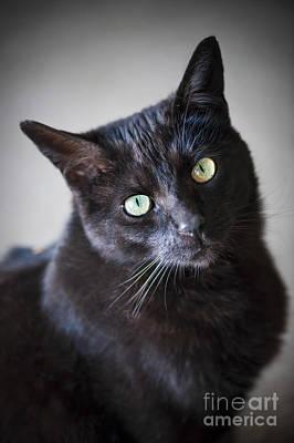 Green Eyes Photograph - Black Cat Portrait by Elena Elisseeva