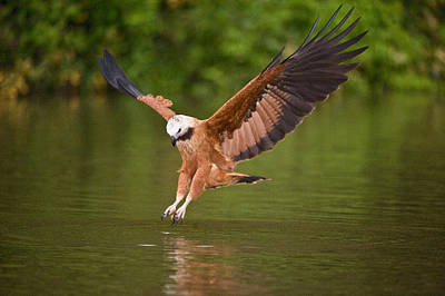 Wetlands Photograph - Black-collared Hawk Busarellus by Panoramic Images