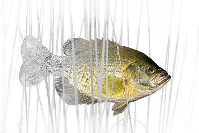 Black Crappie Pan Fish In The Reeds Print by Randall Nyhof