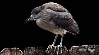 Pink Photograph - Black-crowned Night-heron by Gena Weiser