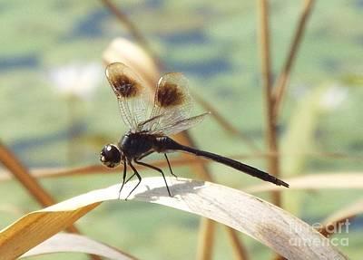 Black Dragonfly Original by Audrey Van Tassell