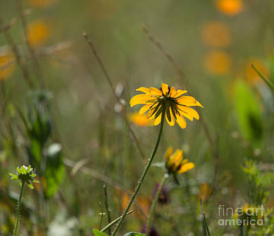 Black-eyed Susan Print by Louise Heusinkveld