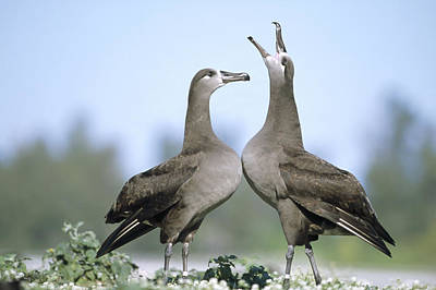 Black-footed Albatross Courtship Dance Print by Tui De Roy