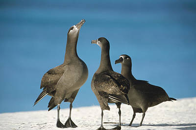 Black-footed Albatross Gamming Group Print by Tui De Roy