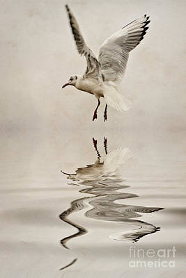 Black-headed Gull  Print by John Edwards