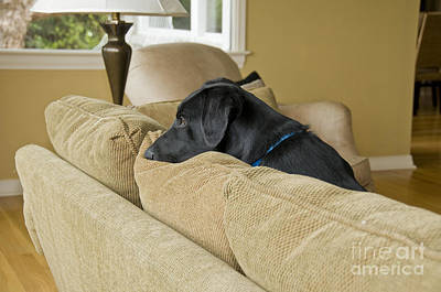 Black Labrador Puppies Photograph - Black Lab On Couch by William H. Mullins