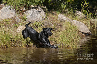 Black Labrador Jumping Into Pond Print by William H. Mullins