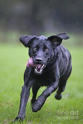 Black Labrador Running Print by Johan De Meester