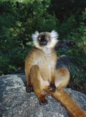 Black Lemur Female Madagascar Print by Konrad Wothe