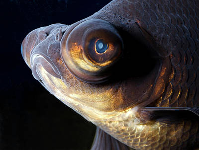 Goldfish Photograph - Black Moor Fish by Nigel Downer