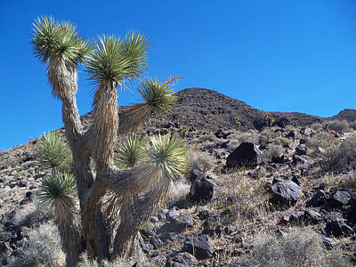 Landscape Photograph - Black Mountain Yucca by Alan Socolik