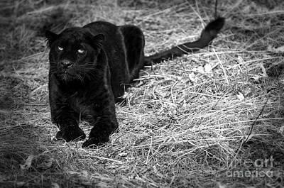 Black On Black Leopards Print by Wildlife Fine Art