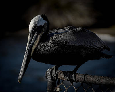Pelican Photograph - Black Pelican by Ernie Echols