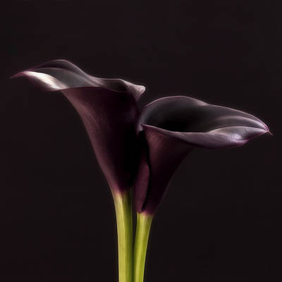 Black And White Purple Flowers Art Work Photography Print by Artecco Fine Art Photography