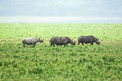 Rhinoceros Photograph - Black Rhinoceros (diceros Bicornis) by Photostock-israel