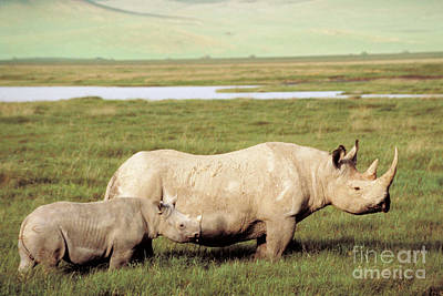 Black Rhinoceros Print by Gregory G. Dimijian