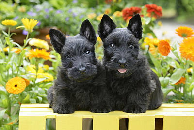 Scottie Photograph - Black Scotties by Greg Cuddiford