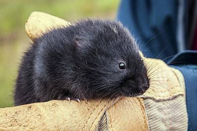 Black Scottish Water Vole Print by Paul Williams