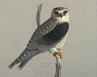 Raptor Painting - Black Shouldered Kite by Louis Agassiz Fuertes