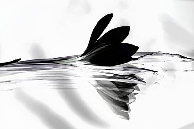 Photograph - Black Silk Crocus by  Andrea Lazar