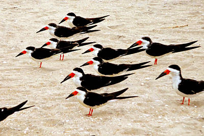 Whalen Photograph - Black Skimmers On The Beach by Jim Whalen