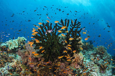 Photograph - Black Sun Coral And Sea Goldies Fiji by Pete Oxford