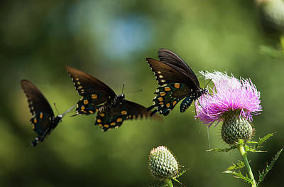 Butterfly In Motion Photograph - Black Swallowtail Butterflies  Papilio by Robert L. Potts