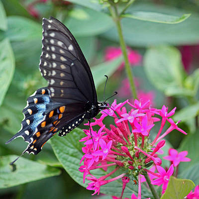 Black Swallowtail On Fuchsia Original by Suzanne Gaff