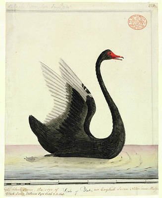 Black Swans Photograph - Black Swan by Natural History Museum, London