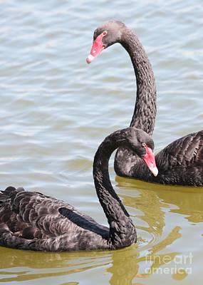 Black Swan Pair Print by Carol Groenen
