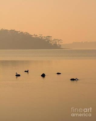 Black Swans Photograph - Black Swan Sunrise by Mike  Dawson