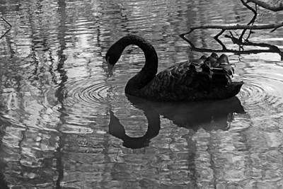 Black Swan V In Black And White Original by Suzanne Gaff